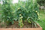 Plantación de tomates en Cantabria