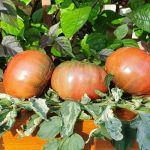 Tomates abigarrados