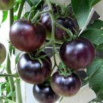 Tomates antocianos